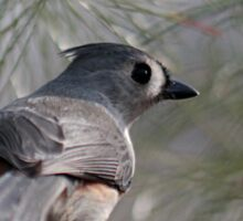 Tufted titmouse perched in a pine tree Sticker