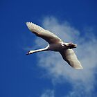 Swan by heinrich