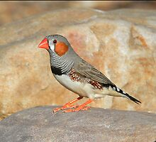 Male Zebra Finch taken at the Arid Lands Park in Port Augusta by Alwyn Simple