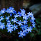 Beautiful Blue Spring Flower by KellyHeaton