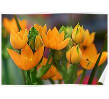 Orange Stars - Floral - Ornithogalum Dubium - Sun Stars Poster