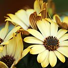Cape Daisies by karina5