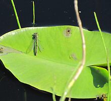 Firefly on waterlily by PVagberg