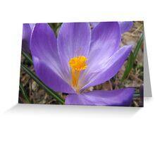 blooming crocus Greeting Card