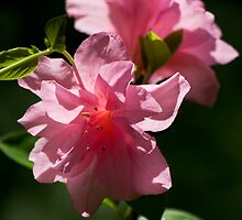 Pretty in Pink by Otto Danby II