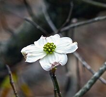 Dogwood Bloom by Susan S. Kline