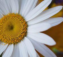 Pushing Daisies by CrosslightPhoto