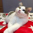 Turkish Van Cat - my pet by Zoe Marlowe