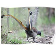 Evening Lyrebird Poster