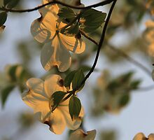 Dogwood Sunset by NatureGreeting Cards ©ccwri