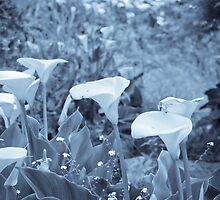 Selenium Calla Lilies by Denice Breaux
