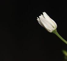 Onion Flower by aprilann