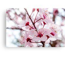 Afternoon Sakura Canvas Print