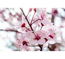 Afternoon Sakura Photographic Print
