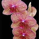Orchid Magic by John Thurgood