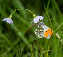 Orange-Tip Butterfly.. by Lauren Tucker