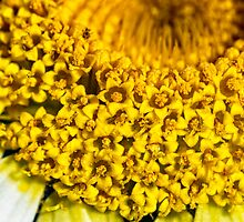 Daisy Marguerite ultra close up by saaton