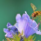 Hoverfly on Flower by relayer51