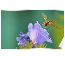 Hoverfly on Flower Poster