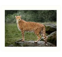 Big Cat Cheetah Art Print