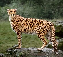 Big Cat Cheetah by Patricia Jacobs CPAGB LRPS BPE3