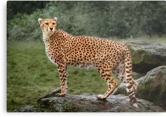 Big Cat Cheetah by Patricia Jacobs CPAGB LRPS BPE4