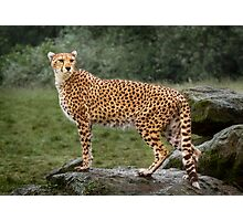Big Cat Cheetah Photographic Print