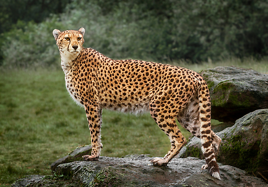 Big Cat Cheetah by Patricia Jacobs CPAGB LRPS BPE3