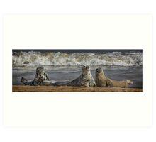 Three Atlantic Grey Seals Art Print
