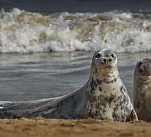 Three Atlantic Grey Seals by Patricia Jacobs CPAGB LRPS BPE4