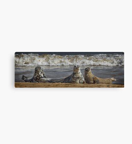 Three Atlantic Grey Seals Canvas Print