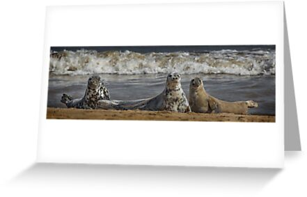 Three Atlantic Grey Seals by Patricia Jacobs CPAGB LRPS BPE4