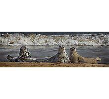 Three Atlantic Grey Seals Photographic Print