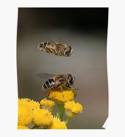 Hoverflies Poster