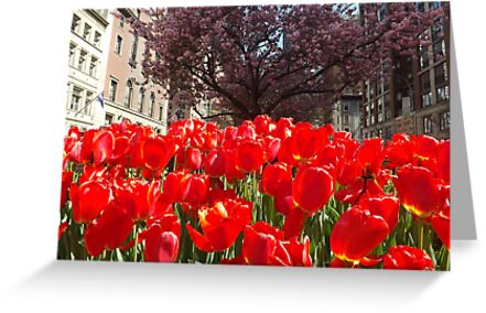 Colorful Tulips, Murray Hill, New York City by lenspiro
