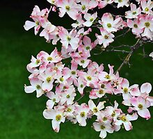 Pink Dogwood Blossoms by ninibursnarfsky