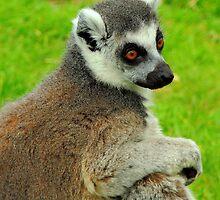 Lemur One by Barnbk02