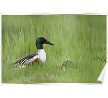 Male Shoveler duck Poster