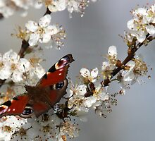 Peacock butterfly. by Andy Wickenden