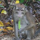 Philippine Long-Tailed Macaque by Vittorio Abanilla