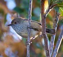 Brown Thornbill by tasmanianartist