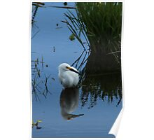Snowy Egret in Shallow Water Poster