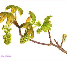 New Leaves and Catkins No. 2 by J-images