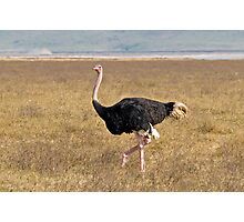Male Ostrich Photographic Print