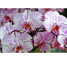 Exotic Dreams. Orchids from Keukenhof. Netherlands Photographic Print