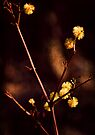 Wattle Flowers  by Deborah McGrath