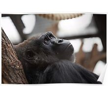Female Gorilla Poster