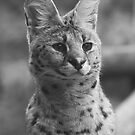 Serval by hannahelizabeth