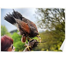 Tasty Snack For A Harris Hawk......... Poster