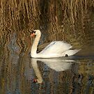 Swan in abstract Waters by Barbara Gerstner